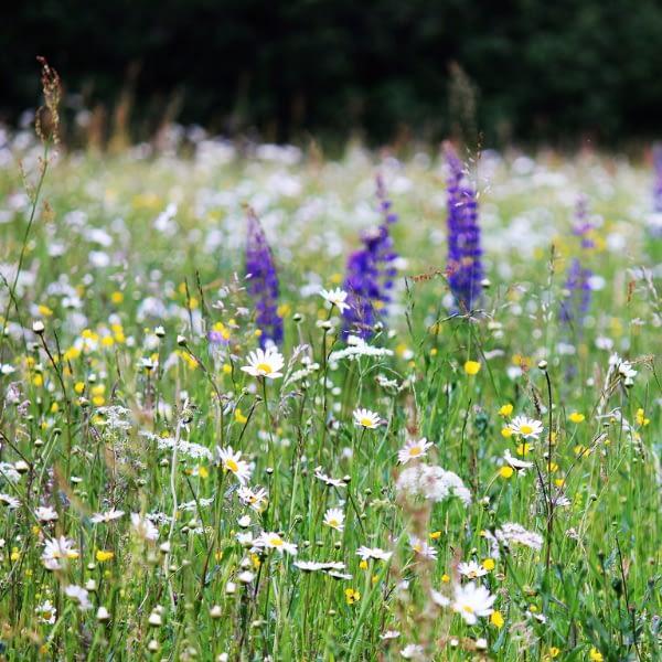 Wildflower Seeds at Seed Bank Ireland