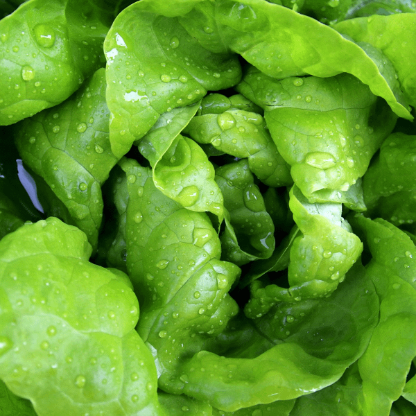 Butterhead Lettuce Seeds Ireland