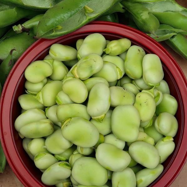 Broad Bean Seeds at Seed Bank Ireland